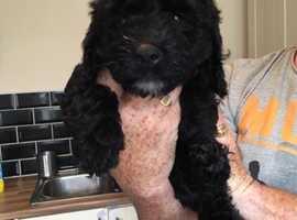 Find Springerdoodle Dogs (Springer Spaniel cross Poodle) For Sale in