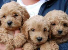 Goldendoodle/Labradoodle PUPPY wanted £900