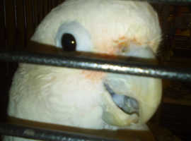 Hand Reared Goffin Cockatoo and accessories