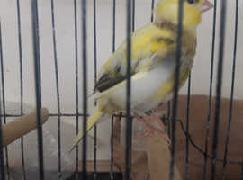 Young fife canaries for sale £10 each