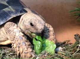 Hermann Tortoise needs loving home