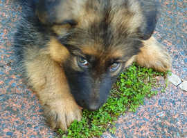 German Shephard pup