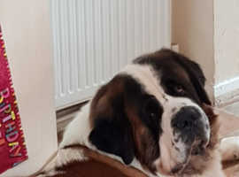 5 year old St bernard male