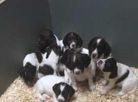 English Springer Spaniel Puppies