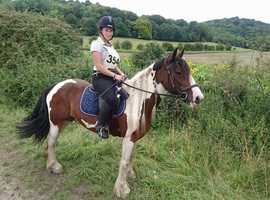 Belle 15hh 7yo all-rounder cob mare for share in Arborfield - Berkshire