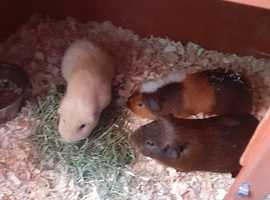Three male guinea pigs year old selling due to cutting back £20 each chocolate , cream, and a teddie one his a tri colour.