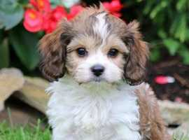 Looking for F2 cavachon puppie(s)