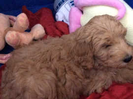 GORGEUOS F2 GOLDENDOODLE PUPPIES