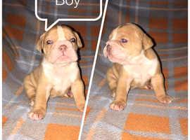 Old thyme bulldog puppies