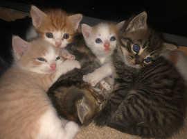 Registered BSH Kittens