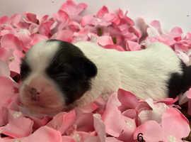 Beautiful shichons puppy's