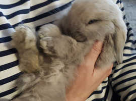 Pure bred mini lop kits to reserve soon.