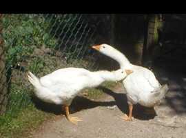 Geese Emden geese