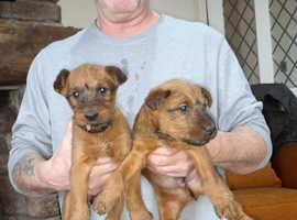 World champion irish terrier bred pups