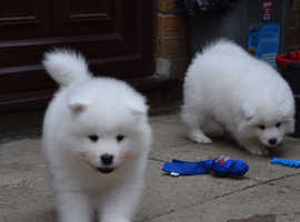 Kennel Club Registered Samoyed Puppies