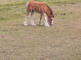 Chestnut splash filly foal