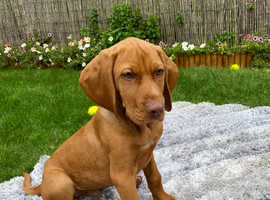 *Ready to go NOW* Hungarian Vizsla male puppy