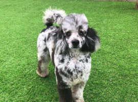 Merle poodles