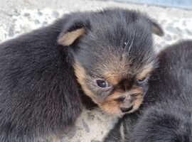 Stunning Chorkie Puppies