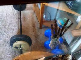Trinidad chevron spider for sale