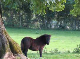 Registered Black Shetland Colt