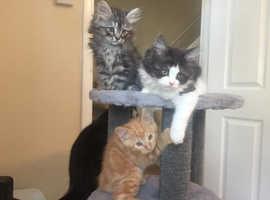 Exotic X Persian Kittens