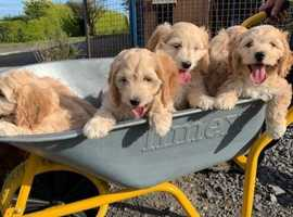 Cockapoo Puppies (Sold)