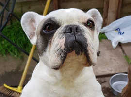 Beautiful Frenchie bitch 5 years old
