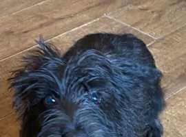WestiePoo female puppy