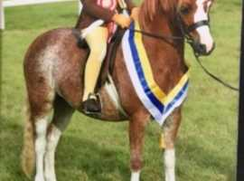 Highland joanna hoys quality lead rein pony
