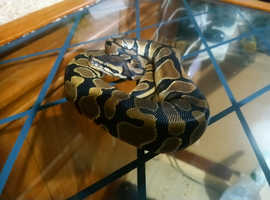 8 month old female royal python