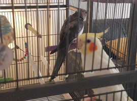 Birds a d cage for sale
