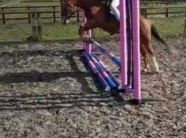 11.1 hh 12 years Welsh Section B Gelding