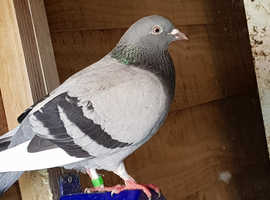 racing pigeon for sale
