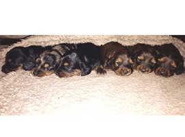 Champion pedigree longhaired dachshunds