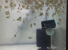 Angel fish baby tropical tank aquarium