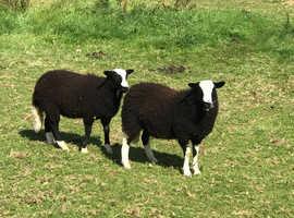 Balwen lambs
