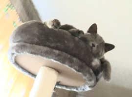 British Shothair kitten WANTED