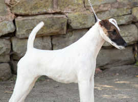 KC Registered Smooth Fox Terrier Puppies