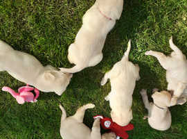 6 lovely labrador puppies for sale