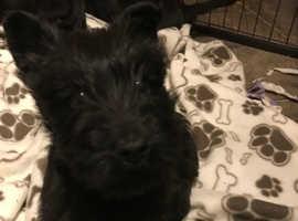 Scottie Pups