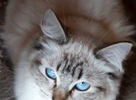 Pedigree lynx point ragdoll girl