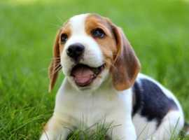 Beagle puppy Wanted