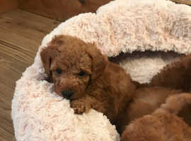 Red Toy poodles
