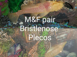 Albino Bristlenose Plecos and Phantom Plecos
