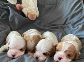 4 cavalier King Charles puppies for sale