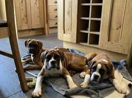KC Reg boxer puppies