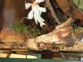 Orchid praying mantis L2 - L3