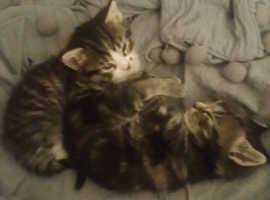 2 stunning Toyger kittens
