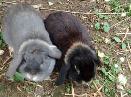 PAIR of adorable Dwarf Lop (midi-size) Rabbit sisters, just over 1 year old. Very friendly.